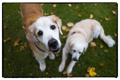 42/52 I Nick & My Half-sister Emma (Eline Lyng) Tags: animal dog pet canine golden retriever goldenretriever nick sister autumn nature outdoor leica leicaq 52weeksfordogs leaves grass