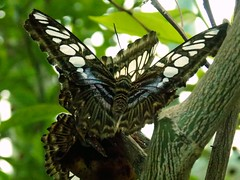 Lepke / Butterfly (Szab_Photography) Tags: butterfly macro green white blue grey animal insect beauty nikon coolpix colorful