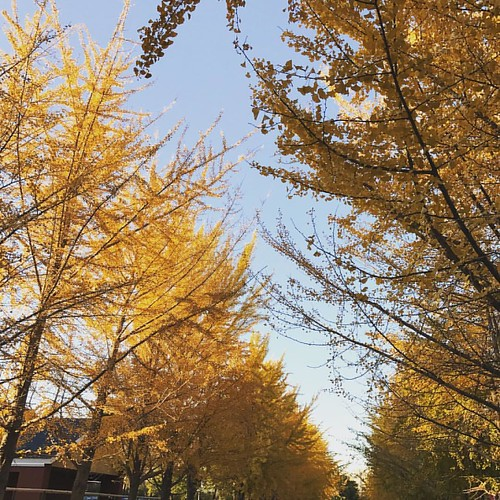 #ginkgo #shenyang #autumn