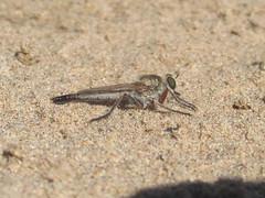 Robber fly (tigerbeatlefreak) Tags: robber fly diptera asilidae insect nebraska