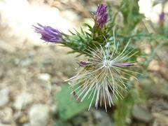 Cirsium creticum 5 (heinvanwinkel) Tags: 2013 kastraki