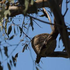 Corcorax melanorhamphos nest (Diana Padrn) Tags: bird ave aves pjaro pjaros birds whitewinged chough corcorax melanorhamphos