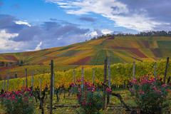 vineyards in autumn (anbasso215) Tags: herbst rotenberg stuttgart weinberg nikond5300 vineyard autumn autumncolours kappelberg
