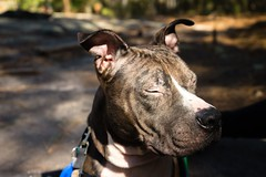 Shelter dog (Kraften) Tags: ifttt 500px dog animal wildlife pet beautiful dogs georgia pit bull shelter tranquil eyes closed face quiet peace peaceful calm