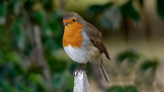 European Robin (Franck Zumella) Tags: robin european redbreast red rouge gorge rougegorge bird