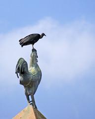 Irrespetuoso / disrespectful (drlopezfranco) Tags: panama ciudad city plaza square france francia gallo rooster galo zope zopilote buitre coq vautour vulture