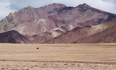 Lonely Yak (flurina.zwahlen) Tags: mountains himalaya markhavalley yak pass vastness india ladakh solitude