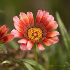Autumn flower (Capturedbyhunter) Tags: fernando caador marques fajarda coruche ribatejo santarm portugal pentax k1 vivitar series 1 24 f24 105 105mm flower flo autumn outono bokeh dof