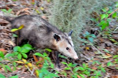 F7K_6139 (68photobug) Tags: 68photobug nikon d7000 nikkor 28300mm usa centralflorida polkcounty lakeland circlebbar reserve preserve refuge park marsh sanctuary wetlands pinescrub nature naturecenter discoverycenter environmentalcenter wildlifemanagement alligatoralley marsupial mammal opossum