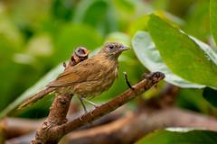 Cocoa Thrush (Turdus fumigatus) (miTsu-llaneous) Tags: cocoathrush turdusfumigatus trinidad trinidadandtobago bird animal wildlife rain weather nature caribbean wildfowltrust thrush wet feathers