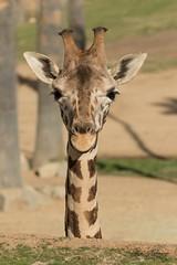 Giraffe (ToddLahman) Tags: sandiegozoosafaripark safaripark safaritram safari escondido giraffe closeup portrait canon7dmkii canon canon100400