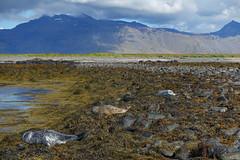 Island (Thomas Berg (Cottbus)) Tags: bir geo:lat=6480102500 geo:lon=2307518400 geotagged grundarfiri isl island kegelrobbe halichoerus grypus iceland islanda