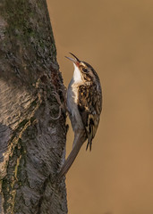 Tree Creeper (boogie1670) Tags: canon7dmarkii sigma 150600mm sports wildlife woodland birds britishbirds yorkshire ngc