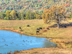 Cattle on the Hill, Geese on Pond (clarkcg photography) Tags: cattle cows calf bull pasture pond water geese canadiangeese oaktree faunasunday7dwf 7dwf landscape animals