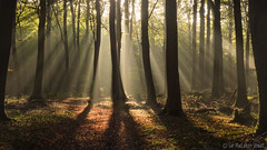 Autumn Light (Sue MacCallum-Stewart) Tags: autumn wephamwoods sunrays lightrays earlymorning woodland trees landscape nature