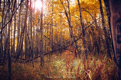 Yellow Woods of Colorado (Derek Cronk) Tags: colorado fall autumn autumncolors fallcolors yellow aspens woods cottonwoodpass grove equinox trees changes changingtrees moutains rockymountains elevation nature wilderness forest october