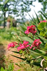 (jo.alvarezv) Tags: chile campo country countryside campochileno chileancountry chileancountryside flores flowers floresrosadas pinkflowers cardenal cardinal florcardenal cardinalflower