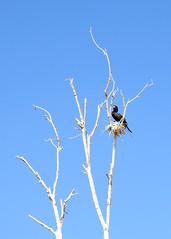 Neotropical Cormorant (aurospio) Tags: arizona chandlerarizona maricopa cormorant neotropicalcormorant neotropical bird nest nesting colony canal water