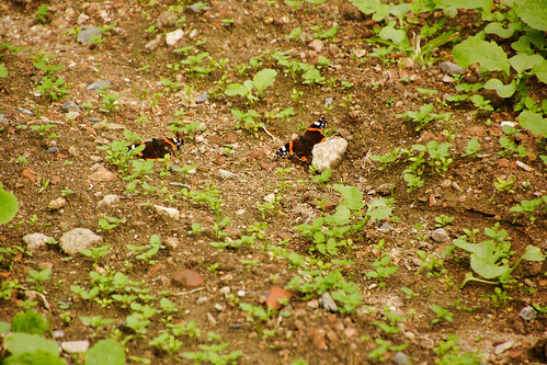 DSC03522 October butterflies on the radish field