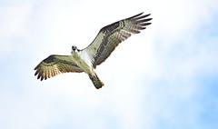Osprey (ott.geoffrey) Tags: osprey florida bird flight wings sky feathers usa america birding soar wildlife nature animal