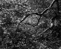 Beech Tree and Holly Bush hanging over the burn (Hyons Wood) (Jonathan Carr) Tags: tree abstract abstraction landscape rural northeast holly bush decay toyo45a 4x5 5x4 largeformat black white bw monochrome