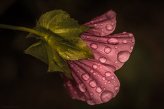 (rich lewis) Tags: macro macrophotography flower waterdrops droplets nature richlewis