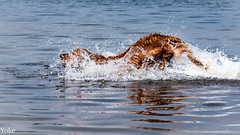 playground for dogs...water! (yo_hermans) Tags: dog water waterdrops play swimming outdoor splash