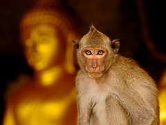 ,, You Look-en At Me ? ,, (Jon in Thailand) Tags: buddha monkey primate eyes conehead nikon d300 nikkor 70300vr jungle cave deepjungle ears wildlife wildlifephotography junglephotography didgerijig
