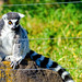 Ring-Tailed Lemur of Ueno Zoo : ワオキツネザル(上野動物園)