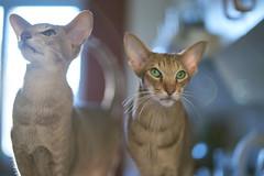 Nimis (Wiktor Kettel) Tags: cat cats orientalshorthair toomuch nimis samyangcsc50mmf14asumc bokeh bokehwhore backlight halo lensflare flare kitsch