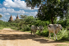 Bagan, Myanmar (DitchTheMap) Tags: animal architecture cow landscape nature road seasia vacation agriculture amazing asia asian background bagan beautiful buffalo bull burma burmese cattle countryside culture exotic farm field flickr indochina life livestock myanmar old outdoor pagoda people pulling rural southeast sunrise temple traditional travel wooden