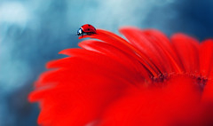 Gerbera (ElenAndreeva) Tags: yellow flowers red beauty color flower sun light summer bokeh beautiful cute colors insect canon garden purple soft dream colorful composition tones sweet focus bug amazing nature macro gerbera ledybug pretty retro top best blue art