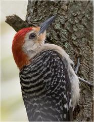 Woodpecker Male ( In Hiding ) (billkominsky ) Tags: naturethroughthelens