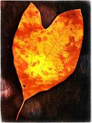 Heartfelt (Ruth Nicholas) Tags: fallleaf heartshape nature orange yellow richcolors