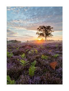 Summer Heath, Rockford Sunrise