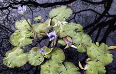 Lily Pond Reflection (Joe Josephs: 2,861,655 views - thank you) Tags: autumn centralpark fall fallcolor fallfoliage joejosephs joejosephsphotography nyc newyorkcity travelphotography urbanparks fineart fineartphotography landscape landscapephotography flowers flowerphotography water waterreflections
