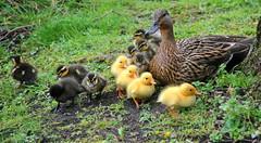 jlvill  12 Patitos (jlvill) Tags: aves patos patitos madres hijos nidada naturaleza 1001nights 1001nightsmagiccity