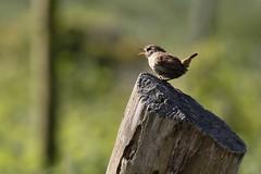 Early Morning Wren (Troglodytes troglodytes) (Fly~catcher) Tags: wren troglodytes