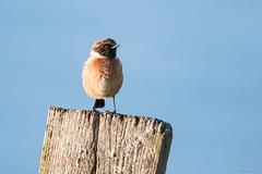 Stonechat ♂ (Shane Jones) Tags: stonechat bird wildlife nature nikon d500 200400vr tc14eii