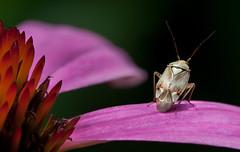 Beetle... Macro Mondays... (Rainer Fritz) Tags: echinacea hmm beatle blumen natur kfer sonnenhut macromondays