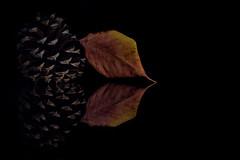 Pinecone and Cherry Leaf (KellarW) Tags: autumnleaf autumn onblack colorful fallcolors autumncolors pinecode fall cherryleaf colorfulfoiliage