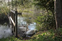 (mennomenno.) Tags: hekken fences zwanen swans rotterdam