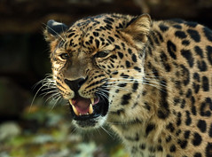 amurleopard Blijdorp JN6A4323 (j.a.kok) Tags: panter panther pantherapardusorientalis amoerpanter amurleopard amurpanther blijdorp mammal zoogdier predator asia azie roofdier
