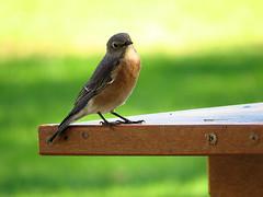 Western Bluebird (Dean Newhouse) Tags: westernbluebird bluebird