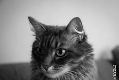 Rosa (Hermann.Click) Tags: chat cat gate animaux animal animals portrait monochrome