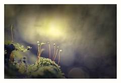 Mossland (s1nano) Tags: moss macro microcosmos micronikkorafs40mm128g nikond7000 bokeh dof wonderland nature light