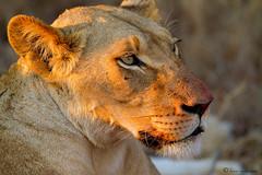 Lioness (leendert3) Tags: lioness sunrays5 ngc npc coth5