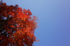 Autumn red (Eric Flexyourhead) Tags: mino minoo minoh minoshi  osaka  kansai  japan  katsuoji  temple buddhist buddhism autumn leaves red japanese maple acerpalmatum momiji  sky clear blue ricohgr