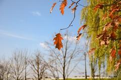 Leaves (Kuzz1984) Tags: lie leaves branch grana tree drvo slavonija hrvatska croatia