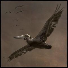 The Brown Pelican (NYRBlue94) Tags: pelican north carolina bird bro brown wing fly ocean beach atlantic sea